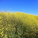 Yellow Mustard Flower