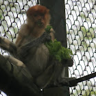Proboscis Monkey, Bekantan