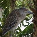Black-crowned Night-Heron, Juvenile