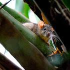 Eastern Wood Rat