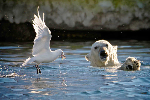 Svalbard-Fram-polar-bear-bird-water - Experience the glorious sight of wildlife in their natural habitat as you cruise through Norway's Svalbard on board Hurtigruten's Fram.