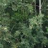 Common Bushes in Michigan