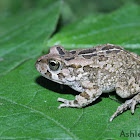 Ranger's Toad