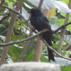 Greater Racket-tailed Drongo - male