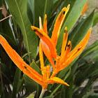 Heliconia 'Orange Parrot'