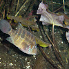 Jack Dempsey (fish)