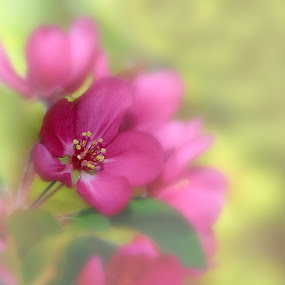 Apple Blossom by Liz Crono - Flowers Tree Blossoms ( tree, nature, fine art, pink, flowers, blossoms )