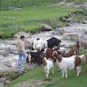Himalayan high altitude goats