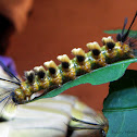 Caterpillar of Handmaiden Moth