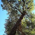 Cork oak / Hrast plutnjak