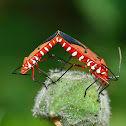 Cotton stainers- Bugs Mating
