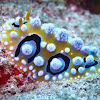 Ocellate Phyllidia Nudibranch