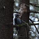 Eurasian Three-toed Woodpecker
