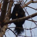 Eastern Gray Squirrel (melanistic)