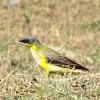 Yellow Wagtail (Juvenile)