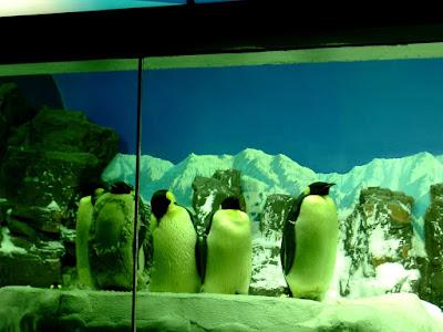 황제팽귄(Emperor penguin) - 샌디에고 씨월드(Seaworld - San diego) [황제팽귄,Emperor penguin,샌디에고,씨월드,수족관,수중생물,테마파크,san diego,seaworld,theme park]