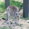 Eastern Grey Kangaroo (juvenile female)