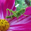 FL Purple Striped Grasshopper