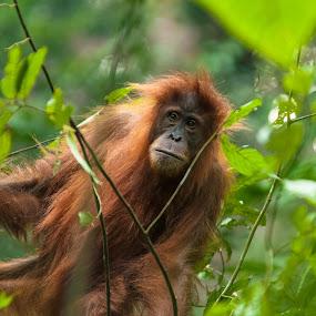 Orang Utan by Jimmy Fang - Animals Other Mammals ( mammals, orang utan, endangered species, ape, wildlife )