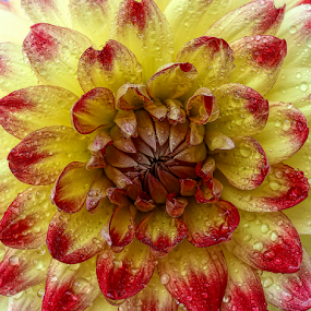 Dahlia by Nikola Vlahov - Flowers Single Flower ( showey, water drops, red, petals, yellow, close up, dahlia, flower )