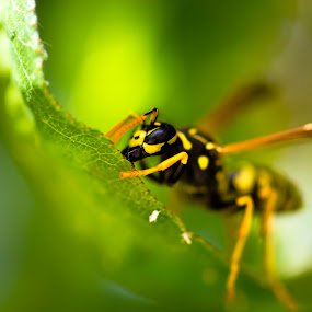 bee II by Andrej Folo - Uncategorized All Uncategorized ( macro, macro photography, bee, green, focus, yellow, leaf, leaves, close up, closeup,  )
