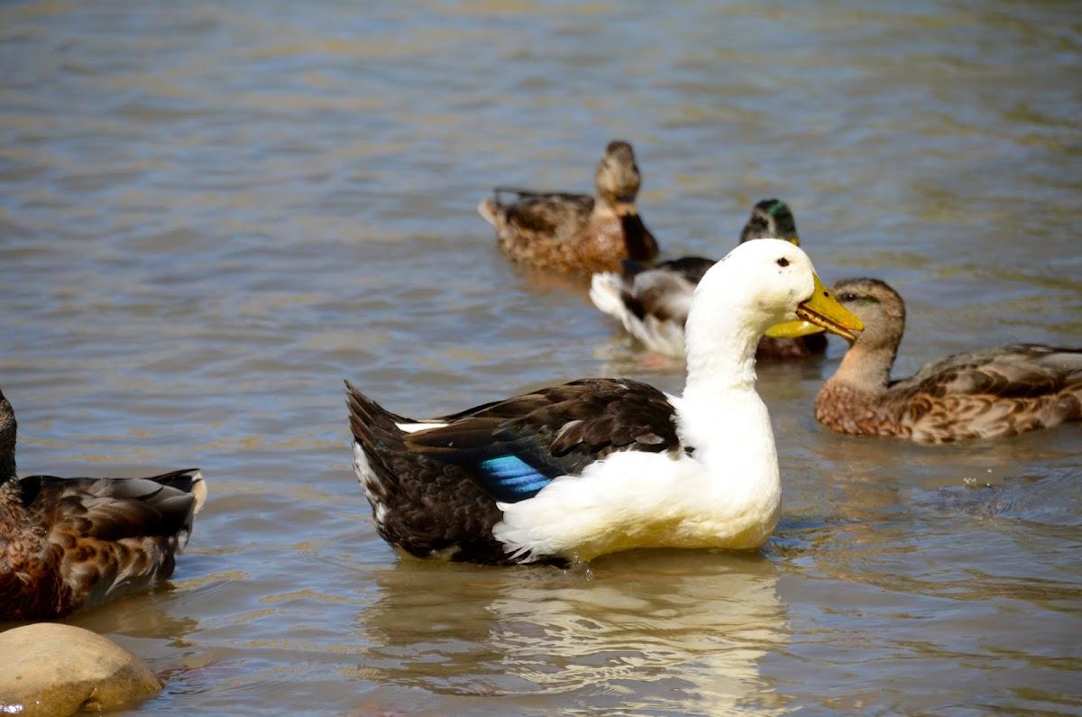 American Black Duck x Jumbo Pekin