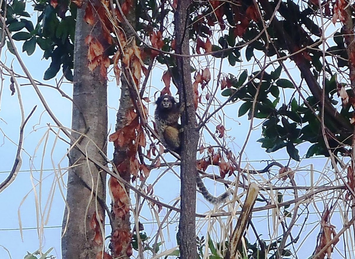 Mono tití de pincel blanco - White-tufted marmoset monkey - Macaco sagüi-de-tufos-brancos