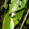 Katydid ecdysis