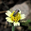 Ceratina Bee