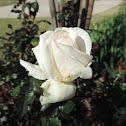 Whisper Hybrid Tea Rose