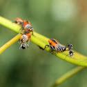 Gum leafhopper nymph