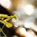 Moss Mantid