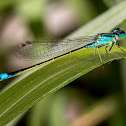 Blue-tailed Damselfly or Grosse Pechlibelle