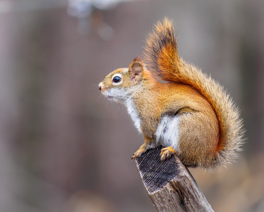 Ready to scoot by Donna Brittain - Animals Other ( oakville ontario canada, april, red squirrel, spring, animal,  )