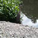 Great Blue Heron (female)