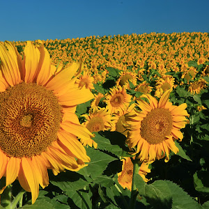 Sunflowers 18X12.jpg