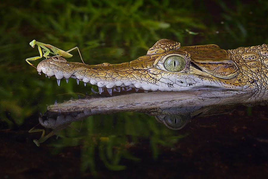 by Adi Parmana - Animals Reptiles (  )