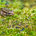 Pickeral Frog