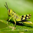 Australian Giant Grasshopper