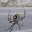 Lobed Argiope (female)