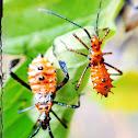 Leaf-footed bug nymph
