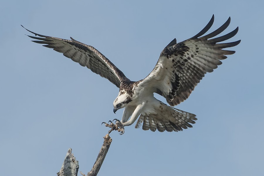 Coming in to Land by Heather Allen - Animals Birds ( flying, talons, fight, everglades, raptor, feathers, osprey, bird, fly, flight,  )