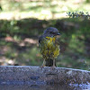 Southern Yellow Robin
