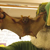 Common Fruit Bat