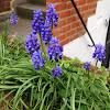 Grape Hyacinth (Гадючий лук армянский)