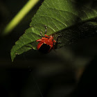 Passion Flower Flea Beetle