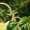 Panicled mallotus / turn-in-the-wind