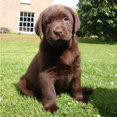 Labrador puppies LWP