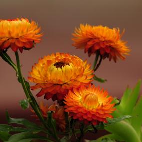Straw Flowers by Janet Gilmour-Baker - Flowers Flower Gardens ( colorful, saskatchewan, beautiful, oranges, straw flowers, backyard, flowers,  )