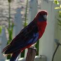 Crimson Rosella